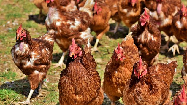 Mimořádná veterinární opatření k zamezení šíření nákazy aviární influenzy